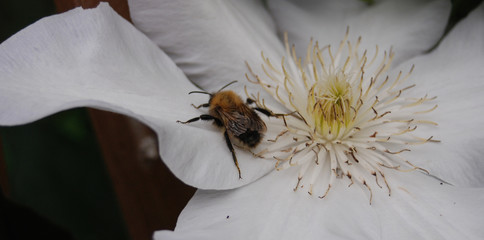 Baby Honey Bee Exploring a White Flower