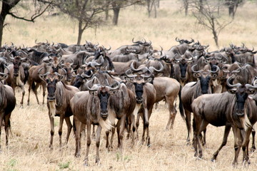 Herd of wildebeest in migration at Serengeti