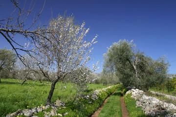 blühender Mandelbaum und Olivenbaum
