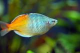 Orange Fish in Aquarium poster