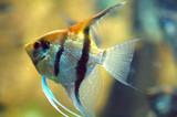 GoldFish in Aquarium poster