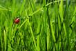 roleta: Ladybug in grass