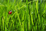 Ladybug in grass poster