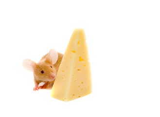 Rat with a slice of cheese.