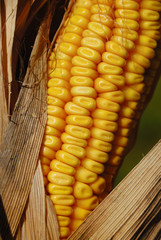 Dried corn on the cob