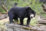 Endangered Species Sun Bear poster