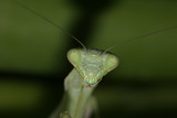 Preying Mantis poster