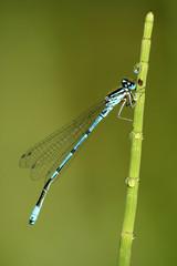 Macro of dragonfly Coenagrion puella