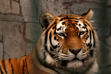 Look of tiger