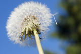 Dandelion seeds ready for lift off poster