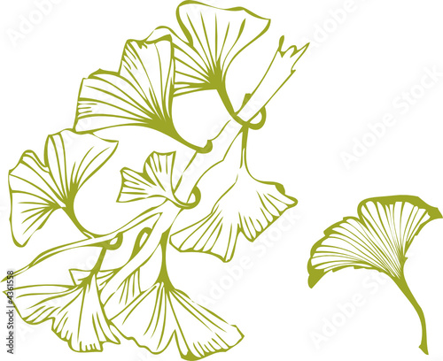 ginkgo leaves © beaubelle