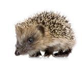 Fototapety hedgehog (1 months)
