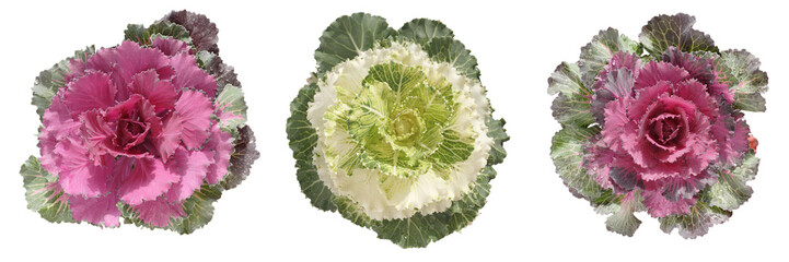 decorative cabbage border
