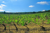 Lush vineyard in Rioja region of Spain poster
