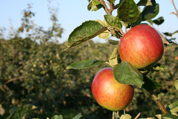 Two Apples Ready For Picking In Kent
