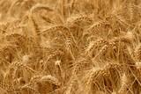 agriculture culture du blé poster