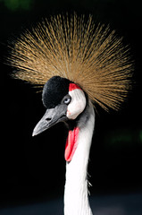 African Grey Crowned Crane Balearica regulorum