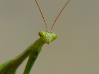green insect mantis