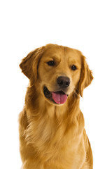 Golden Retriever Series (Canis Familiaris)