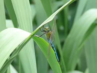 libelula canaria