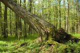 Old spruce broken in spring forest poster