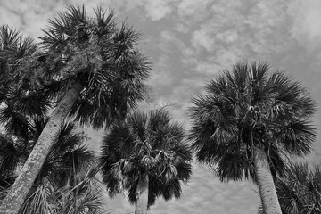 Palmetto Tree grove