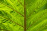 Palm Leaf backlit veins poster