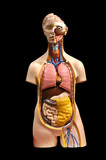 Anatomic breadboard model of internal bodies of the person poster