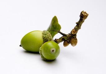 Acorns from an Oak tree