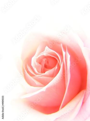 miekka-rozowa-roza