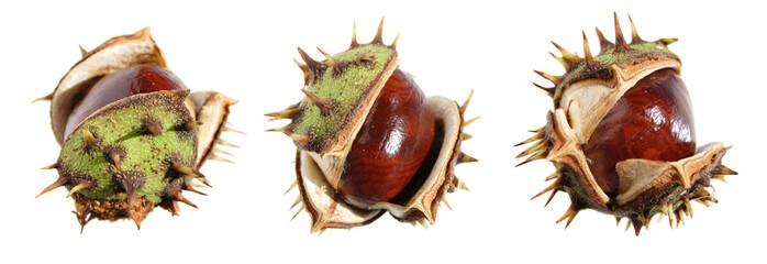 horse chestnut (conker) border