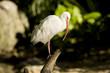 American White Ibis 4