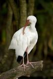 American White Ibis 3 poster