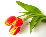 Fototapety tulpen - tulips