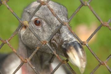 sad condor