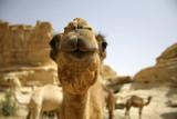 camel in sede boker desert, israel poster