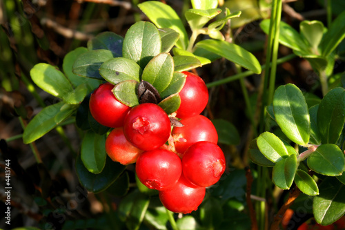 Photo: Mountain cranberry fruit © Profotokris #