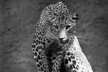 leopard bw © beltsazar