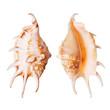 Lambis Seashells