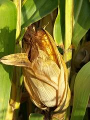 Epi de maïs sur pied, feuilles, spathes et stigmates