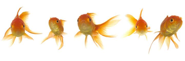 Goldfish lokking
