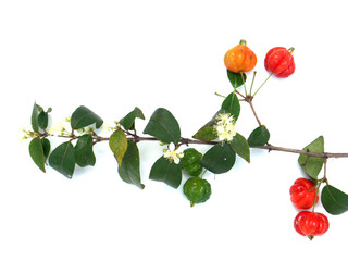 branche de cerisier du Brésil avec fleurs et fruits