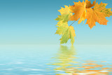 Maple leaves and their reflection in water. poster