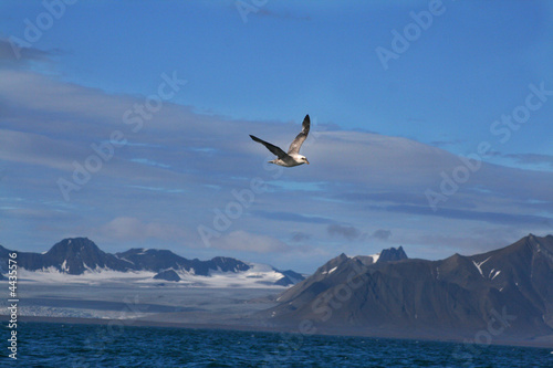 Seagull from Spitsbergen