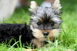 3 months old yorkshire terrier poster