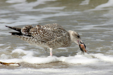 hunting seagull devouring it's victim fish