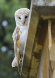 Barn Owl - Tyto alba - Perched on a Church poster