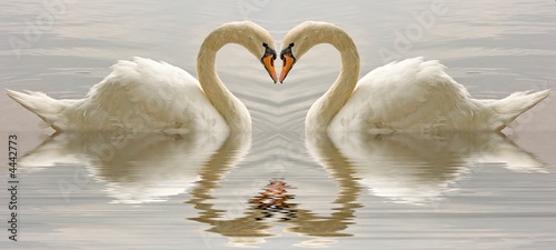 Swan affecion abstract heart with reflection reflected in water