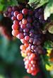 raisin dans le vignoble