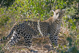 leopard at sabi sands in south africa poster